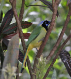 Green Jay (Green) - West Mexico form