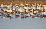 Tundra Swan and Greater White-fronted Goose