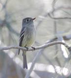 Hammond's Flycatcher