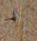 Alameda Song Sparrow