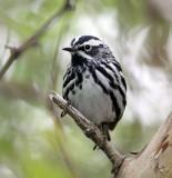 Black& White Warbler