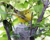 Yellow Warbler checking the nest