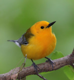 Prothonotary Warbler-soft look