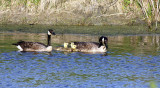 Canada Goose and family