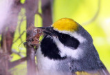 Golden-winged Warbler with bug