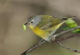 Nashville Warbler with bug