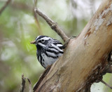 Lunch time, female Black & White Warbler