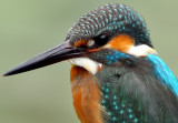Kingfisher 2010