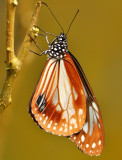 chestnut_tiger_butterfly