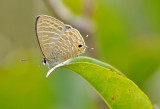 spotted_angle_butterfly