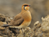 large-indian-pratincole