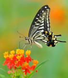 swallow_tail_butterfly