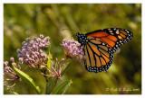 Monarch in the Garden