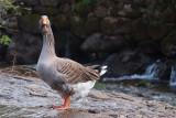 Oie Cendrée - Greylag Goose - Anser Anser