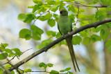 Perruche à collier -Rose-ringed Parakeet -Psittacula krameri