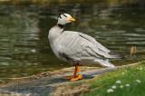 Oie à tête barrée - Bar-headed goose  - Anser indicus