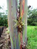 Coloured bark