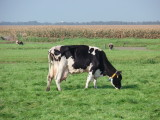 Grazing milch cow