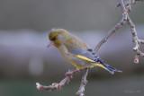 European Greenfinch / Carduelis chloris / Grönfink