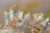 Willow Warbler / Phylloscopus trochilus / Lövsångare
