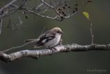 Woodchat Shrike / Lanius senator niloticus / Rödhuvad törnskata