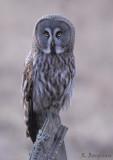 Great Grey Owl / Strix nebulosa / Lappuggla