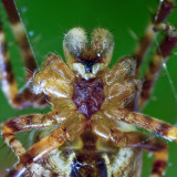Spider - bodyguard