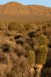 JOSHUA TREES - AN UNUSUAL TREE OF THE LILY FAMILY