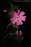 Red campion (Silene dioicia)