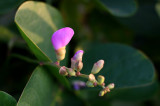 Sea Grape Blossom