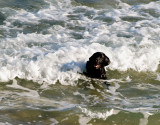 dog in waves1.jpg