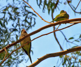 parrots.JPG