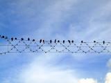 birds kikar2.JPG