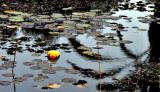 unlucky duck.JPG