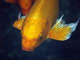 koi gold face_filtered.jpg