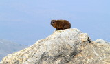 arbel rock hyrax.JPG
