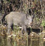 wild boar3.JPG