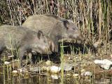 wild boar_sus scrofa.JPG