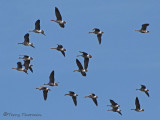 Greater White-fronted Geese in flight 6a.jpg