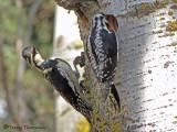 Yellow-bellied Sapsucker pair 1b.jpg