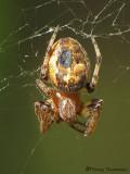 Larinioides cornutus - Orb Weaver A2a.JPG