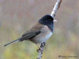 Dark-eyed Junco Oregon race 7a.jpg