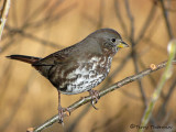 Fox Sparrow - West Coast supspecies 10b.jpg