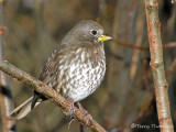 Fox Sparrow - West Coast supspecies 11b.jpg