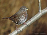 Fox Sparrow - West Coast supspecies 12a.jpg