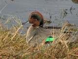 Green-winged Teal 12a.jpg