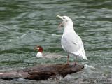 Glaucous-winged Gull and Common Merganser 1a.jpg