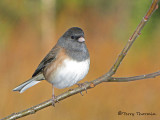 Dark-eyed Junco female Oregon race 13a.jpg