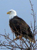 Bald Eagle 18a.jpg