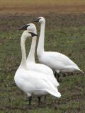 Trumpeter Swans 2a.jpg